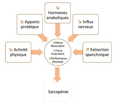 causes sarcopénie