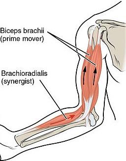 Tout savoir sur le muscle